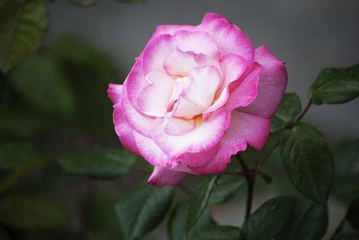 Flower, Pink, Gentle, Plant, Spring, Bright, Summer