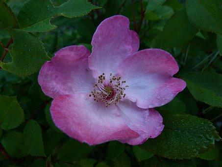 Flowers, Pink, Macro, Bicolor Pink Flower, Petals