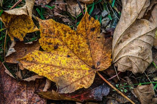 Leaves, Leaf, Forest, Autumn, Fall Foliage, Tree, Brown