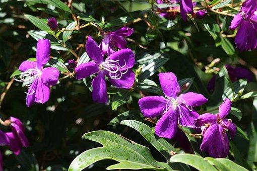 Tibouchina Granulosa, Glory Bush, Glory Tree, Tree