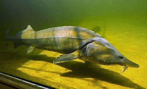 Kapitaler Sturgeon, Large Aquarium, Fish, Freshwater