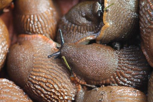 Sea Slugs, Pests, Snail Plague, Nature, Molluscs, Pest