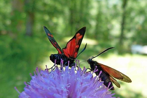 Insects, Zygaena Purpuralis, Butterflies, Macro, Nature