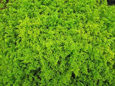 Green, Cut Flowers, Solidago, Tare, Plant, Ornamental