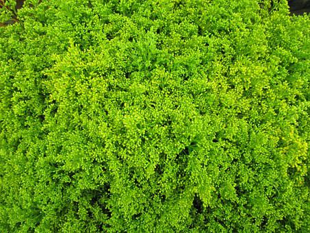 Green, Cut Flowers, Solidago, Tare, Plant, Ornamental