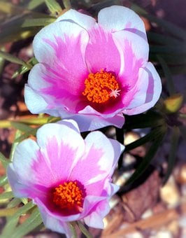 Portulaca, Flowers, Pink, White, Small, Blooms