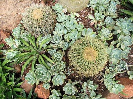 Succulent, Plant, Cactus, Green, Rock, Pebbles, Garden