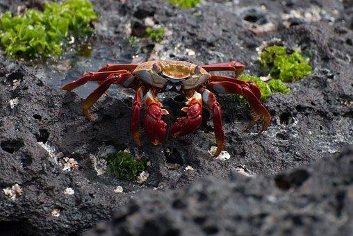 Crab, Sally Lightfoot, Volcanic Soil, Animal, Beach
