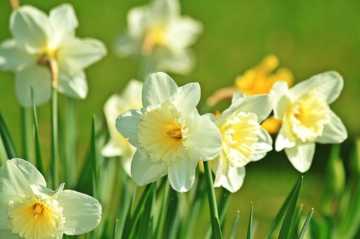 Daffodil, Daffodils, Spring, Blossom, Bloom, Flower