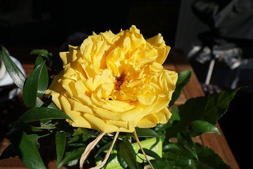 Rose, Yellow, Flower, Jealousy, Symbol, Beautiful