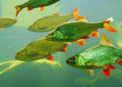 Rotfeder, Karpfenfisch, Large Aquarium, Water