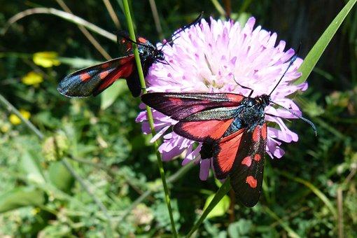 Insects, Zygaena Purpuralis, Butterflies, Nature, Macro