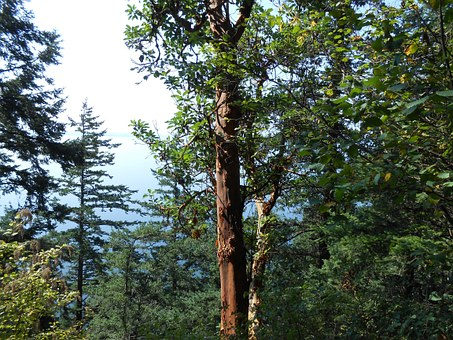 Trees, Arbutus, Nature, Trunk, Forest, Flora, Woods