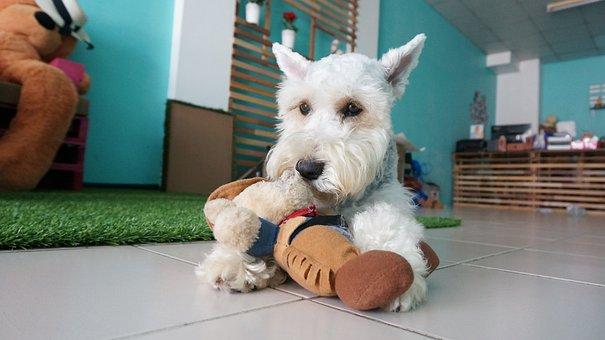 Dog, Arent Canny, Miniature Schnauzer, Free Dog