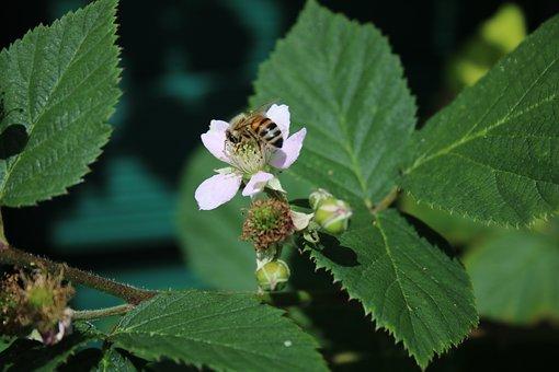 Blackberry, Blossom, Bloom, Bee, Immature, Green, Plant