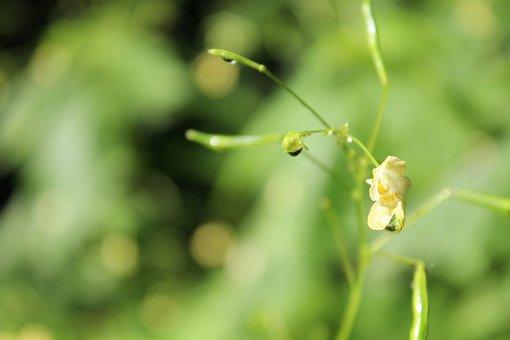 Balsam, Plant, Blossom, Bloom, Indian Springkraut