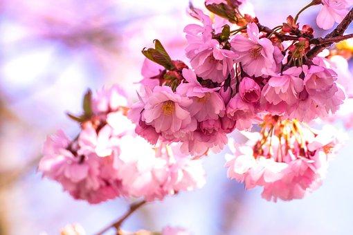 Bloom, Blossom, Blur, Cherry Blossom, Close-up