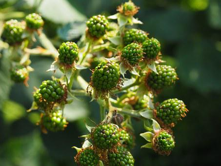 Blackberry, Immature, Green, Fruits, Berries, Bush