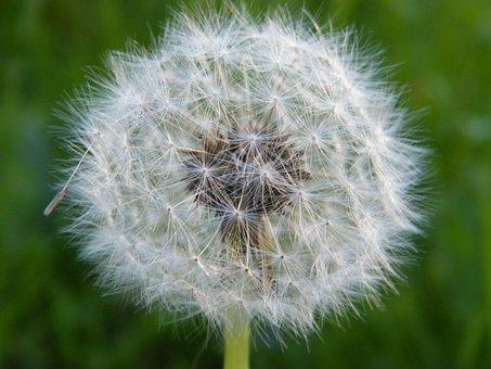 Dandelion, Flower, Flight Screens