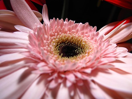 Flower, Pink, Petals, Heart Yellow And Black, Flora