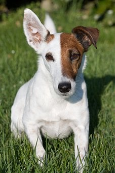 Fox Terrier, Smooth Fox Terrier