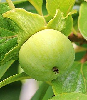 Kaki, Persimmon Tree, Fruit, Exotic, Tree, Vitamins
