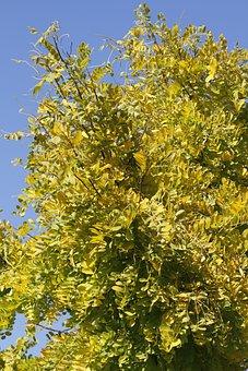 Honey Locust, Gleditsia, Tree, Leather Sleeves Tree