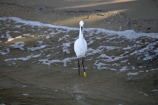 Snowy White Egret, Bird, Avian, Tropical, Egret, Heron