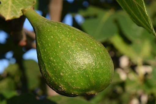 Fig, Immature, Green, Fig Tree, Fruits, Nature, Fruit