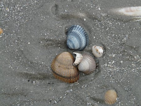 Mussels, Edible Cockle, Cerastoderma Edule, Beach, Sand