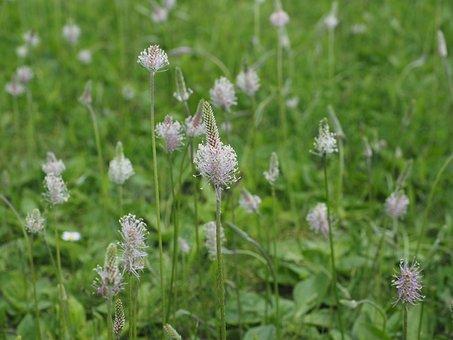 Hoary Plantain, Plantain, Wild Flower Meadow, Meadow