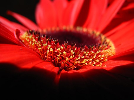 Flower, Red, Petals, Yellow Heart, Black Background