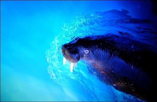 Walrus, Sea Lion, Sea, Meeresbewohner, Underwater