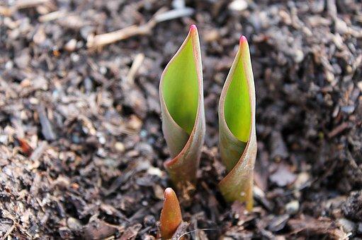 Tulip, Bulb, Emerge, Tip, Translucent, Spring, Flower