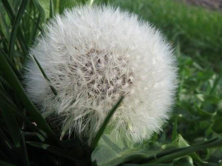 Taraxacum Sect Ruderalia, Dandelion, Blowball
