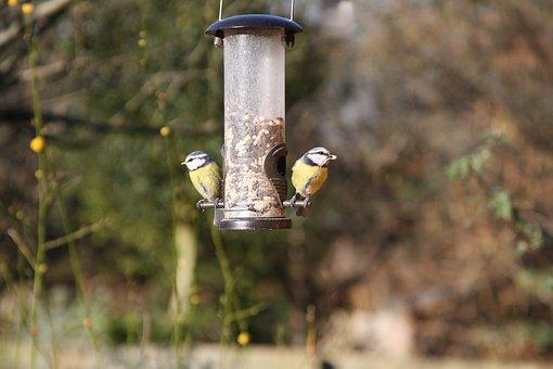 Blue Tits, Garden Birds, Warwickshire British, Bird