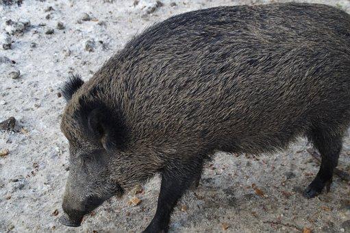 Boar, Wild Boar, Pig, Forest, Deer Park, Bache