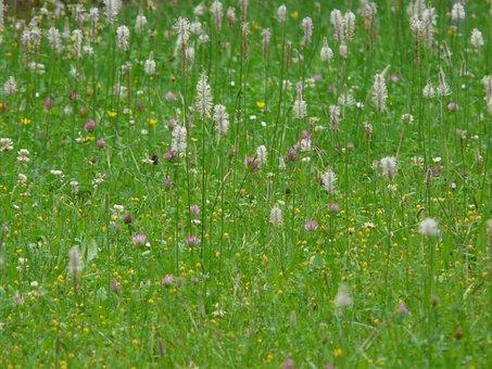 Wild Flower Meadow, Meadow, Hoary Plantain, Plantain