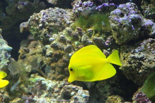 Yellow Surgeon, Zebrasoma Flavescens, Fish, Yellow