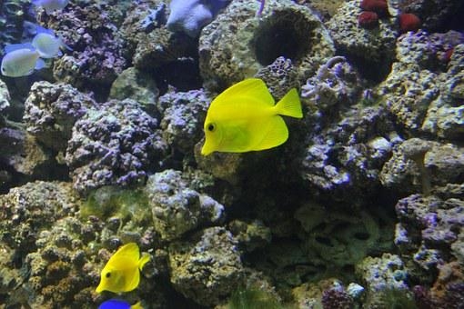 Yellow Surgeon, Zebrasoma Flavescens, Exotic Fish