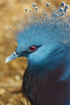 Animal, Beak, Bird, Blue, Crest, Crown, Victoria