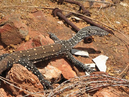 Lizard, Lace Monitor, Goanna, Animal, Wildlife, Wild