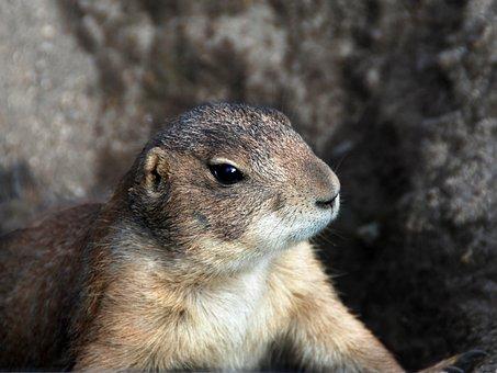Animal, Prairie Dog, Sciurids