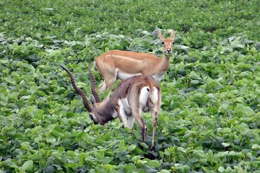 Blackbuck, Antilope Cervicapra, Ungulate, Antelope