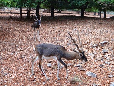Blackbuck, Kala Hiran, Animal, Antelope, Cervicapra