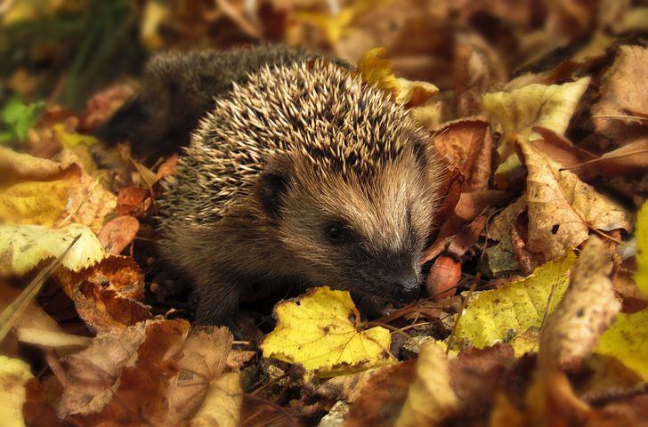 Hedgehog, Autumn, Garden, Colors Of Autumn, Nature