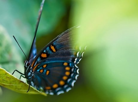 Animal, Battus Philenor, Beautiful, Beauty, Black