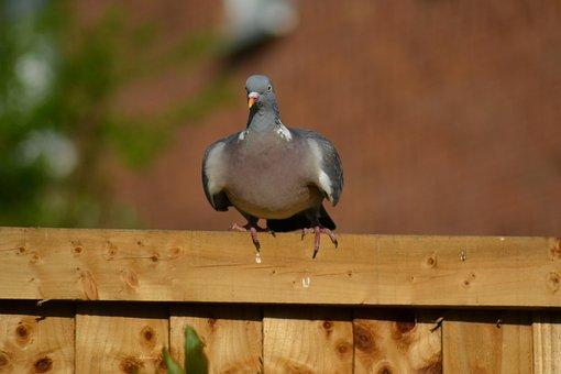 Woodpigeon, Pigeon, Beak, Columba Palumbus, Wild Bird