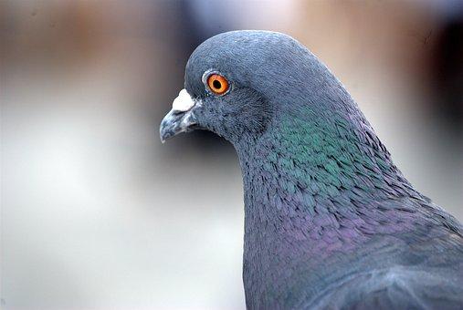 Pigeon, Homing, Bird, Close-up, Feather, Wild