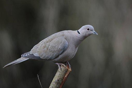 Wood Pigeon, Birds, Bird, Fauna, Animals, Nature